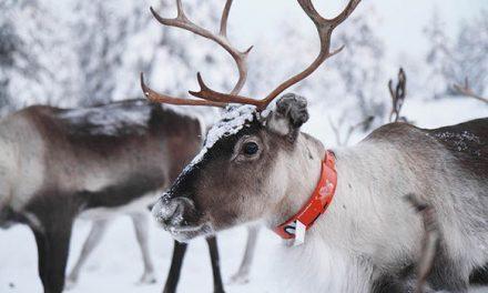 Tenere un renna in giardino a Natale è reato